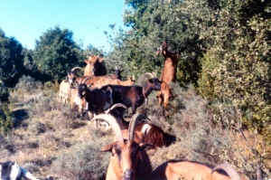 ECM_Goats_Eating photo